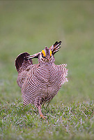 572110200 a wild lesser prairie chicken tympanuchus pallidicintus displays and struts on a lek on a remote ranch near canadian in the texas panhandle