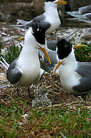 Crested Terns breeding on the Five Islands during the New South Wales South Coast and Coastal Island bird surveys