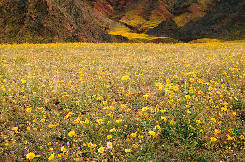 Fields of hairy desert sunflower, in Death Valley often called desert gold (Geraea canescens), in the Black Mountains, near Ashford Mill, Death Valley National Park, California