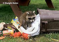 MA22-002x  Raccoon - young raccoon exploring garbage, looking for food - Procyon lotor