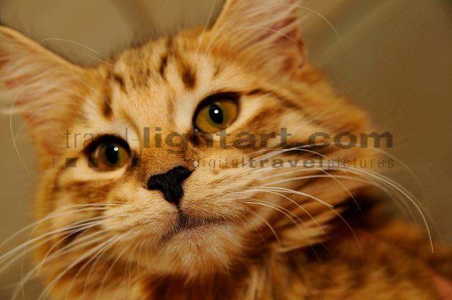 ©Paul Trummer, Mauren / FL, www.travel-lightart.com, www.digital-photos.eu, animal, animalia, animals, cat, catkins, cats, domestic cat, domestic cats, felis catus, living being, mammal, mammals, pet cat, pet cats, predator, predators, vertebrate, vertebrates, warm blooded animals, warm blooded-animal, Fauna, Felis, Fissipedia, Hauskatze, Hauskatzen, Kater, Landraubtier, Landraubtiere, Lebewesen, Mammalia, Rassekatze, Säuger, Säugetier, Säugetiere, Tierbild, Tierbilder, Vertebrata, Warmblüter, Wirbeltier, Wirbeltiere, Haustier, Haustiere, Domestic Animals, Norwegische Waldkatze, Norwegian Forest Cat, Nose, Nase