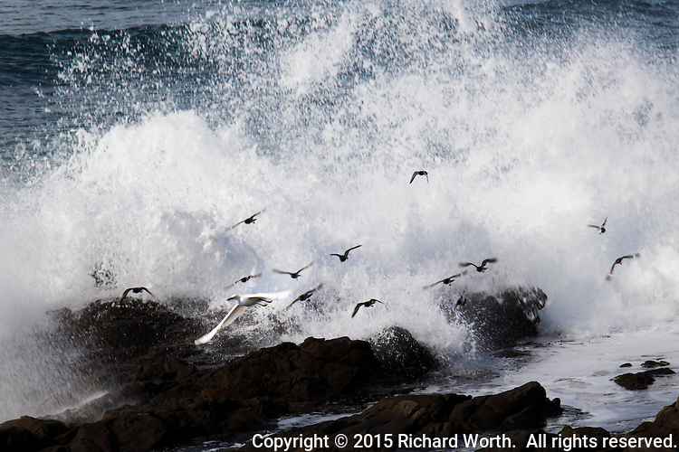 A Snowy egret and a dozen other smaller shore birds called Surfbirds take flight to escape a crashing wave at Bean Hollow State Beach on the California Coast.