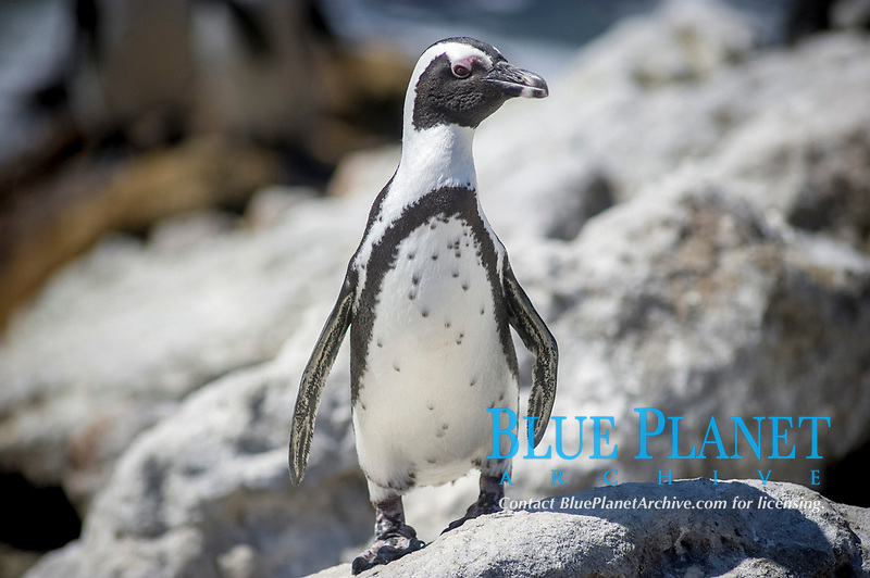 African penguin, jackass penguin, or black-footed penguin, Spheniscus demersus, Sony Point penguin colony, Betty's Bay, Western Cape, South Africa