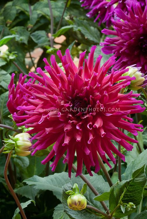 Dahlia 'Orfeo' red purple cactus type