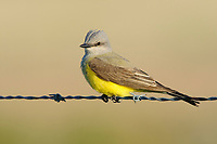 Adult Western Kingbird (Tyrannus verticalis) on fence. Southeast Alberta, Canada. May.