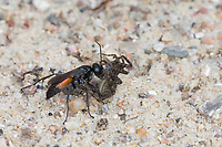 Wegwespe, mit erbeuteter Spinne, Beute, Weg-Wespe, Arachnospila spec., spider wasp, Wegwespen, Pompilidae, pompilids, spider-hunting wasps, spider wasps