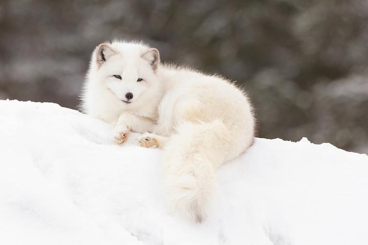 Arctic Fox lying on top of a snowy hill - CA