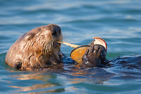 southern sea otter, or California sea otter, Enhydra lutris nereis, eating clam, endangered species, Elkhorn Slough National Estuarine Research Reserve, Elkhorn Slough, Moss Landing, Monterey, California, USA, Monterey Bay, Pacific Ocean
