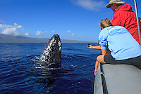Humpback whale comes up to look the people on a tour boat, Maui, Hawaii.