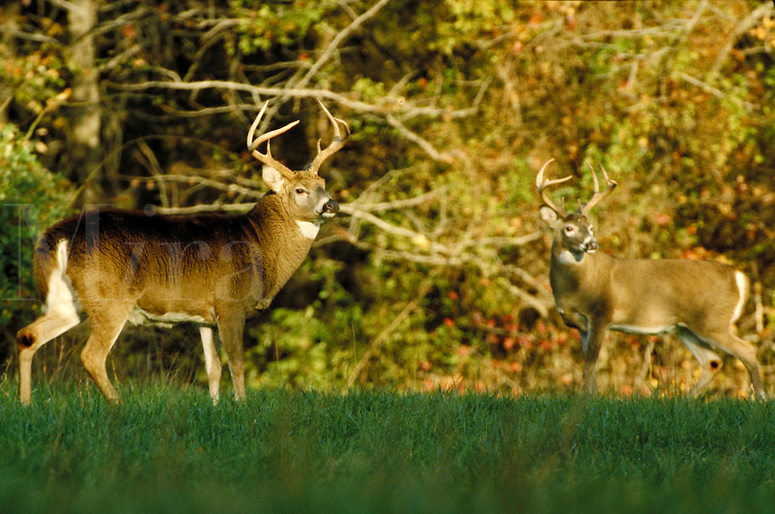 WHITETAIL BUCKS DURING RUT (BREEDING SEASON). ELK NECK STATE PARK MARYLAND USA.