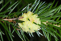 Ananasgalle, Ananas-Galle an Fichtentrieb, Fichte, Fichtengalllaus, Fichtengall-Laus, Fichtenkleingallenlaus, Fichtengallenlaus, Frühe Fichten-Kleingallenlaus, Picea abies, Adelges spec., red larch gall adelgid, larch adelges, larch woolly aphid