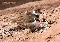 0510-1128  Killdeer, Adult Sitting on Eggs, Charadrius vociferus  © David Kuhn/Dwight Kuhn Photography