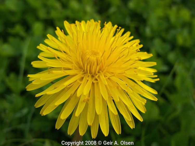 A Coltsfoot in the grass outside Aalesund, Norway