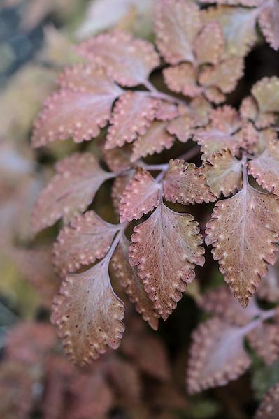 Corydalis quantmeyeriana 'Chocolate Stars'