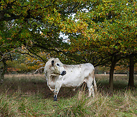 BNPS.co.uk (01202 558833)<br /> Pic: PhilYeomans/BNPS<br />  <br /> A white bull on the Blenheim Estate.<br /> <br /> A herd of British white cattle is being returned to help manage ancient woodland on the Blenheim Estate.<br /> <br /> Some 45 cattle, including 21 cows, 23 calves and Sebastian the bull, have been released into High Park, a wooded area of the Oxfordshire estate that was originally created by King Henry I as a deer park in the 12th century. <br /> <br /> It is the first time the woods have been grazed by livestock for more than a century and it is hoped their re-introduction will encourage new tree growth.
