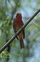 Summer Tanager, Piranga rubra,immature male, South Padre Island, Texas, USA, May 2005