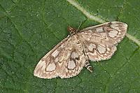 Holunderzünsler, Holunderzünsler, Anania coronata, Phlyctaenia coronata, Phlyctaenia sambucalis, Crowned Phlyctaenia Moth, Zünsler, Crambidae, grass moths, grass-veneers