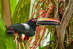 Fiery-billed Aracari (Pteroglossus frantzii) feeding on fruit, Osa Peninsula, Costa Rica