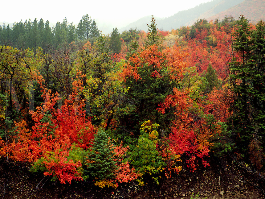 Art in Nature 9409-0199 - An autumn rain falling over Payson Canyon enriches the colorful fall foliage. Wasatch Range, Rocky Mountains, Utah.