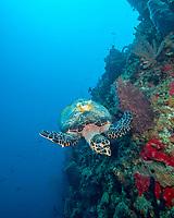 hawksbill sea turtle, Eretmochelys imbricata, with IFAW (International Fund for Animal Welfare) radio, Soufriere Scotts Head Marine Reserve, Soufriere, St Mark, Commonwealth of Dominica, Dominica, Caribbean Sea, Atlantic Ocean