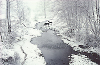 Horses crossing a winter stream