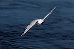 Elegant Tern Twist, Bolsa Chica Wildlife Refuge, Southern California