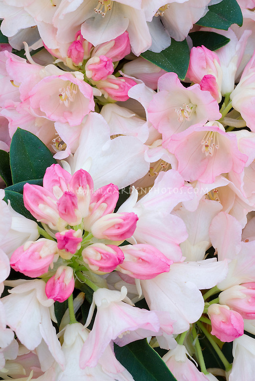 Rhododendron 'Looking Glass' with white pink flushed flowers and pink buds, spring flowering shrub in bloom