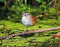 Adult male swamp sparrow in breeding plumage