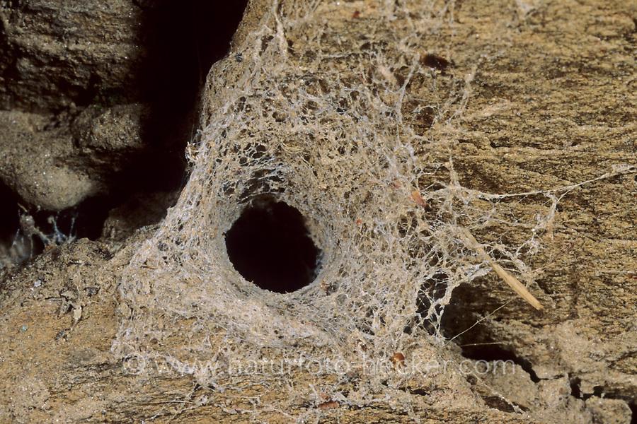 Lochröhrenspinne, Lochröhren-Spinne, röhrenförmiges Gespinnst, Gespinnströhre, Gespinst, Filistata insidiatrix, Filistatidae, Lochröhrenspinnen