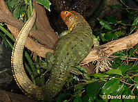 0522-1005  Northern Caiman Lizard (Guyana Caiman Lizard) Climbing in Tree, Dracaena guianensis  © David Kuhn/Dwight Kuhn Photography