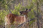 White-tailed doe(s)
