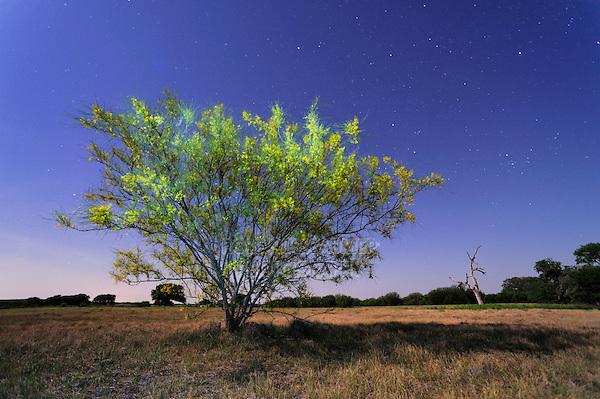 Retama, Paloverde (Parkinsonia aculeata), bush in bloom at night, Dinero, Lake Corpus Christi, South Texas, USA