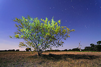 Retama, Paloverde (Parkinsonia aculeata), bush in bloom at night, Dinero, Lake Corpus Christi, South Texas, USA