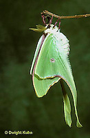 LE15-017x  Luna Moth - just emerged from cocoon expanding wings - Actias luna