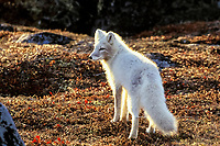 Arctic fox, Vulpes lagopus, fall tundra backlight near Churchill, Manitoba, northern Canada