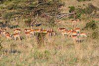 Tanzania. Serengeti. Impala Herd Browsing Early Morning, Dominant Male on right.