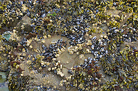Intertidal zone--rock covered with mussels, barnacles and rockweed.  Olympic National Park, WA.