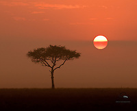 Acacia tree at sunrise, Masai Mara, Kenya.