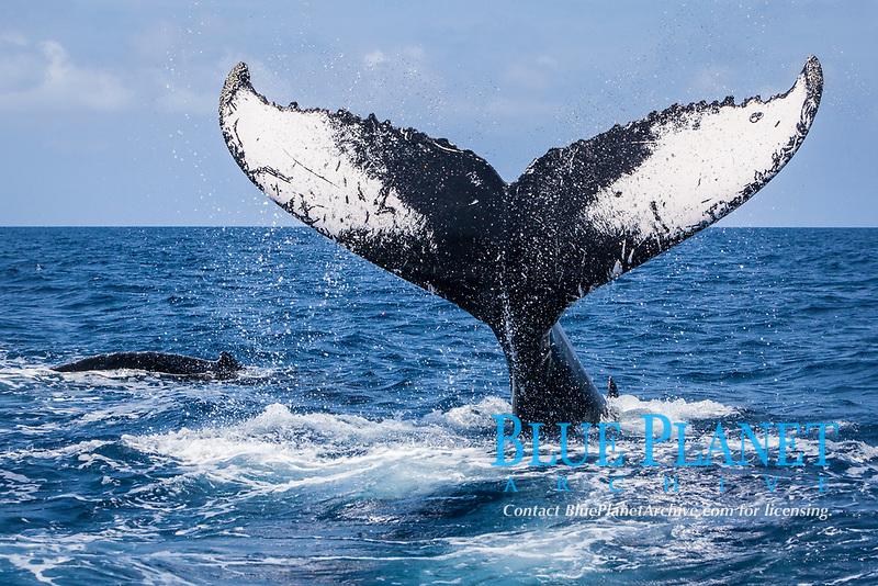 humpback whale, Megaptera novaeangliae, tail-slapping, Silver Bank, Dominican Republic, Caribbean Sea, Atlantic Ocean