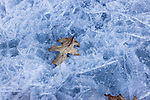 Oak leaf frozen in the ice.