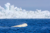 beluga whale, Delphinapterus leucas, swimming in an open lead during spring migration, Chukchi Sea, Barrow, Arctic Alaska