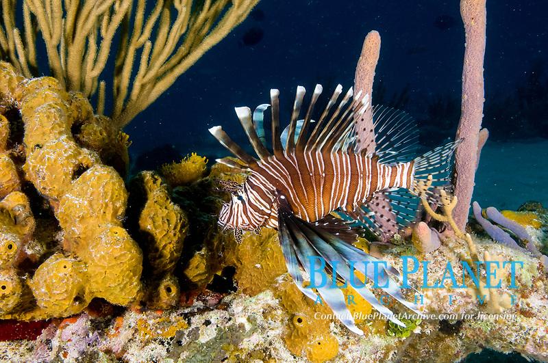 Volitans Lionfish, an invasive species, Bahamas.