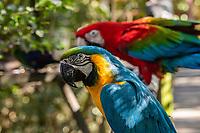 Green-winged macaw (Ara chloropterus),Tenikwa Wildlife Rehabilitation Centre, Plettenberg Bay, South Africa.