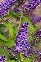 Buddleja davidii 'Purple Emperor'