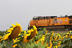 CHAD PILSTER •Hays Daily News<br /> <br /> A train heads westbound past a field of sunflowers near the Midland Marketing Coop grain elevator on Monday, August 5, 2013, in Toulon, Kansas. According to Wikipedia, to grow best, sunflowers need full sun. They grow best in fertile, moist, well-drained soil with heavy mulch. In commercial planting, seeds are planted  about 1.5 ft and 1 in deep.