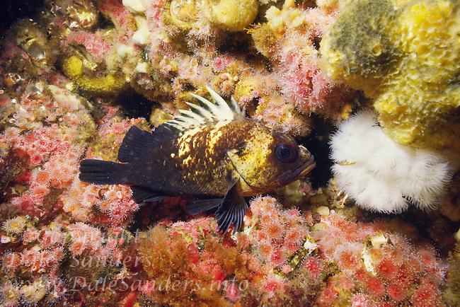 Quilback Rockfish (Sebastes maliger) hides among Strawberry Anemones and sponges on a reef in Discovery Passage near Campbell River, British Columbia, Canada.