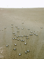 leatherback sea turtle hatchlings, Dermochelys coriacea, runs to the sea, Dominica, West Indies, Caribbean, Atlantic