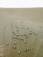 leatherback sea turtle hatchlings, Dermochelys coriacea, runs to the sea, Dominica, West Indies, Caribbean, Atlantic