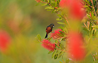 Orchard Oriole (Icterus spurius), male feeding on blooming Lemon bottlebrush, crimson bottlebrush (Melaleuca citrina), South Padre Island, Texas, USA