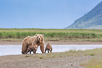 A brown bear mother and her spring cubs  in Hallo Bay, Katmai National Park